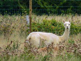 Lamas & Alpakas
